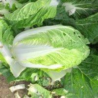 白菜(ハクサイ)の育て方|プランター栽培でも収穫できる?失敗しないコツは?の画像