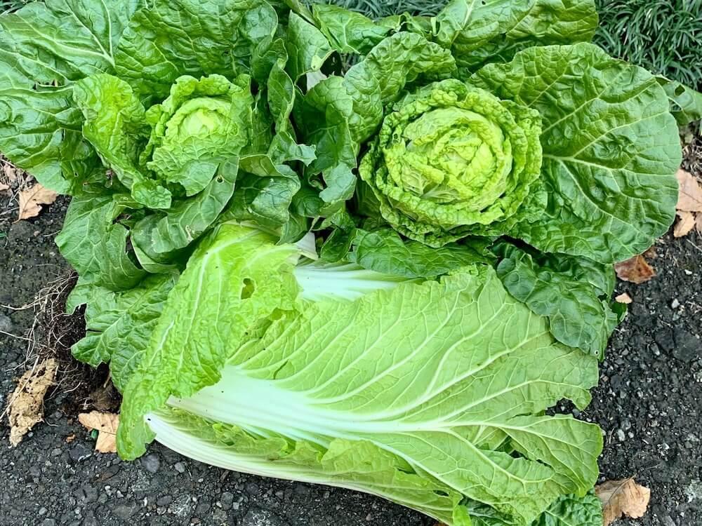 白菜 の 栽培 方法