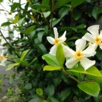 テイカカズラの花言葉|花の特徴や種類、グリーンカーテンにおすすめ!の画像