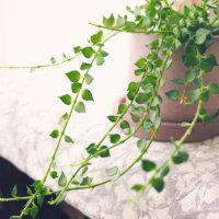 ディスキディア(カンガルーポケット)の花言葉|種類や意味、ハンギングで人気!の画像