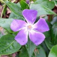 ツルニチニチソウの花言葉 意味や種類、花の特徴は?の画像