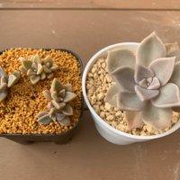 グラプトペタルムの花言葉|種類や意味、寄せ植えにおすすめ!の画像