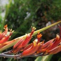 ニューサイランの花言葉 意味や種類、40年に一度咲く花って本当?の画像