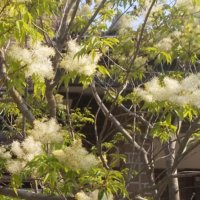 トネリコの花言葉 意味や花の特徴、種類は?の画像