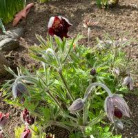 オキナグサの花言葉|花の特徴や意味、別名が多い?の画像