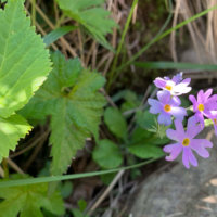 ユキワリソウ(雪割草)の花言葉|意味や由来、種類や花の色は?の画像