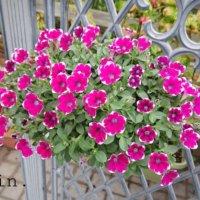 サフィニアの花言葉|花の特徴や種類、ペチュニアとの違いは?の画像