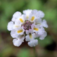 ヒメイワダレソウの花言葉|花の特徴や種類、見頃の時期は?の画像