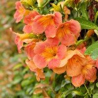 ノウゼンカズラの花言葉|意味や種類、花の特徴は?の画像