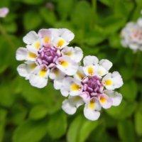 イワダレソウの花言葉|種類や意味、花の特徴は?の画像