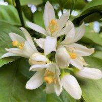 ミカンの花言葉|意味や花の特徴、代表的な種類は?の画像