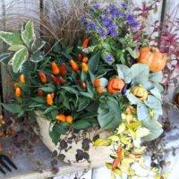 今から準備しよう♫ハロウィン寄せ植えアイデアとおすすめ植物とは?🎃の画像