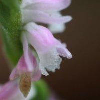 ネジバナ(捩花)の花言葉|意味や由来は?ねじれた花の特徴とは?の画像