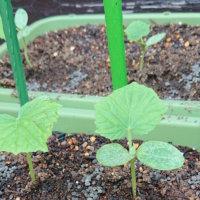 シソ(大葉)のベランダ栽培|種まきや植え付けの時期、収穫はいつ?の画像