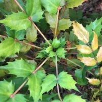 ヒイラギナンテン(柊南天)の花言葉|種類や品種、花の特徴は?の画像