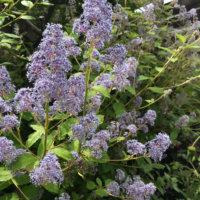 セアノサスの花言葉|意味や種類、花の香りは?の画像