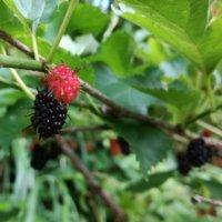 桑(マルベリー)の花言葉 花や実の特徴、栄養があるの?の画像