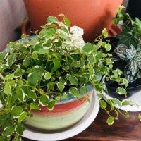 フィカス・プミラの花言葉|意味や花の特徴、楽しみ方は?の画像