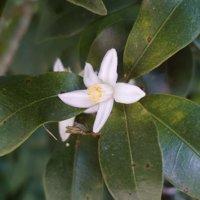 キンカンの花言葉|花の時期や種類、家庭菜園でも育てられる?の画像