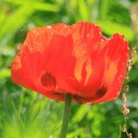 ポピーの花言葉|色や種類別の意味や由来は?見頃の時期や花の特徴は?の画像