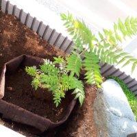庭木を大きくしすぎない&果樹の収穫を早める!「根域制限」栽培とは?の画像