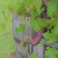 ブドウ(葡萄)の花言葉|花や実の特徴、種類はどれくらい?の画像