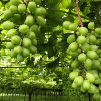 ブドウの育て方|肥料や水やりの頻度は?プランターでも栽培できる?の画像