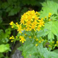 キリンソウの花言葉|意味や種類、花の特徴は?の画像
