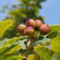 山椒(サンショウ)の花言葉|意味や種類、芽や花も食べられる?の画像