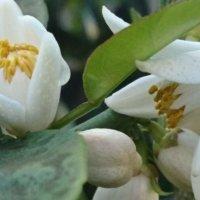 スダチの花言葉|意味や花の時期、家庭菜園でも育てられる?の画像