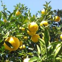 ナツミカンの花言葉|花や実の特徴、家庭菜園で栽培できる!の画像