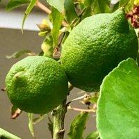 レモンの花言葉|意味や種類、花の時期は?の画像