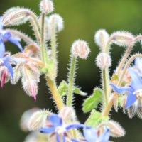 ボリジの花言葉|意味や花の特徴、ハーブとしての効能は?の画像