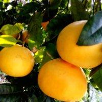 グレープフルーツの花言葉|種類や花の時期、観葉植物としても人気!の画像