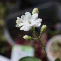 マツリカ(アラビアンジャスミン)の花言葉|香りや花の見頃の時期は?の画像