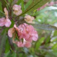 ドドナエアの花言葉|意味や種類、サヤは花のようで美しいの画像