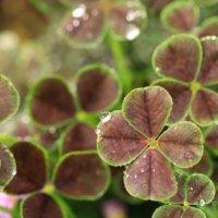 ブラッククローバーの花言葉|意味や花の特徴、グランドカバーに人気!の画像
