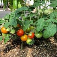 コンパニオンプランツとは?家庭菜園で野菜をラクに育てるテクニック!の画像