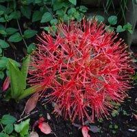 ハエマンサス(マユハケオモト)の花言葉|意味や種類、花の特徴は?の画像