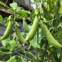 えんどう豆の花言葉|花や実の特徴、代表的な種類は?の画像