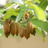 キウイフルーツの花言葉|種類や花の特徴、実はビタミンが豊富!の画像