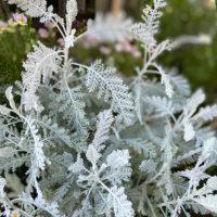 シルバーレースの花言葉|意味や花の特徴、寄せ植えにおすすめ!の画像