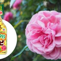 バラ栽培に♪食品原料由来の殺虫剤「ロハピ」の魅力と使い方[PR]の画像