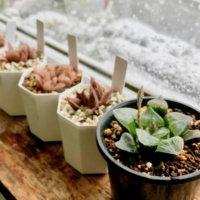 多肉植物の冬の管理方法!水やりは断水するべき?冬型でも冬越し対策は必要?の画像