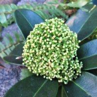 スキミヤの花言葉|花や実の特徴、クリスマス飾りにおすすめ!の画像