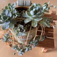 子持ち蓮華の花言葉|意味や由来、花も楽しめるの画像