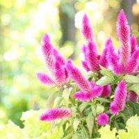 セロシアの花言葉|意味や花の特徴、種類はどのくらい?の画像