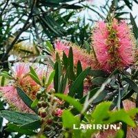 ブラシノキ(金宝樹)の花言葉|意味や種類、花の特徴は?の画像