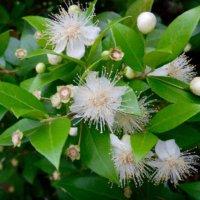 ギンバイカ(銀梅花)の花言葉|意味や花の特徴、ハーブとしても人気!の画像