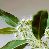レモンマートルの花言葉|意味や花の特徴、ハーブとしての効果効能は?の画像